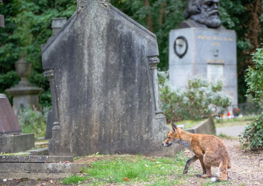 Marx och räven